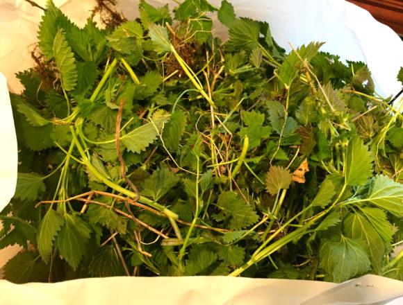 garden nettles just picked