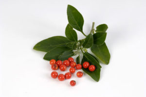 Ashwagandha with flowers and berries